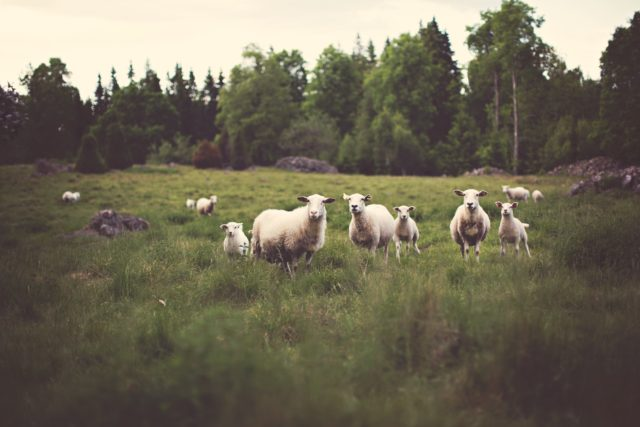 negative-space-curious-sheep-field-farm-grass-stock-trees-forest